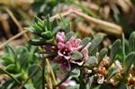 Sea Milkwort (Glaux maritima)